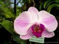 Peradeniya_Orchid Gardens-1256
