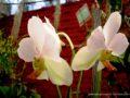 Peradeniya_Orchid Gardens-1268