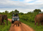 Udawalawa National Park Elephant cross