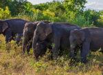 Udawalawa National Park Elephant gather