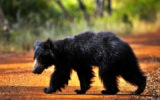 Wilpattu National Park Bear side