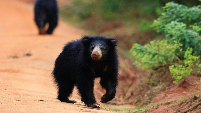 Wilpattu National Park Bear