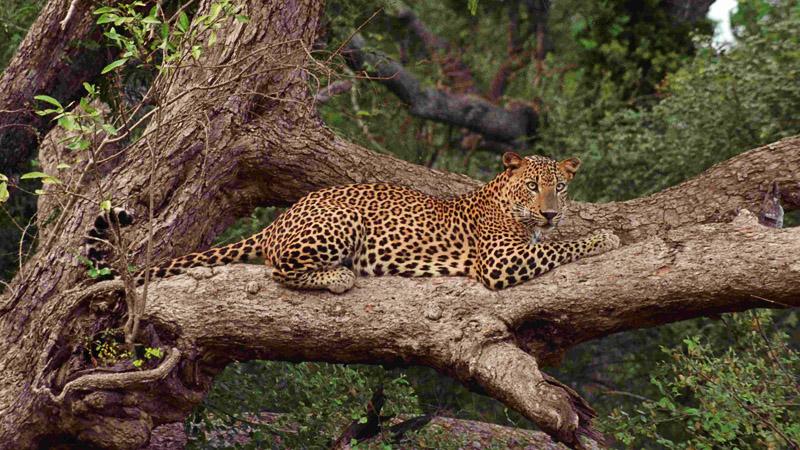 Wilpattu National Park Lepord