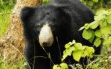 Yala sri lankan bear